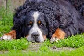 bernese mountain dog ilanı