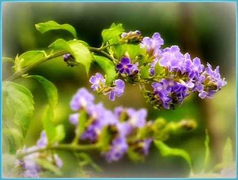 Duranta Jewel