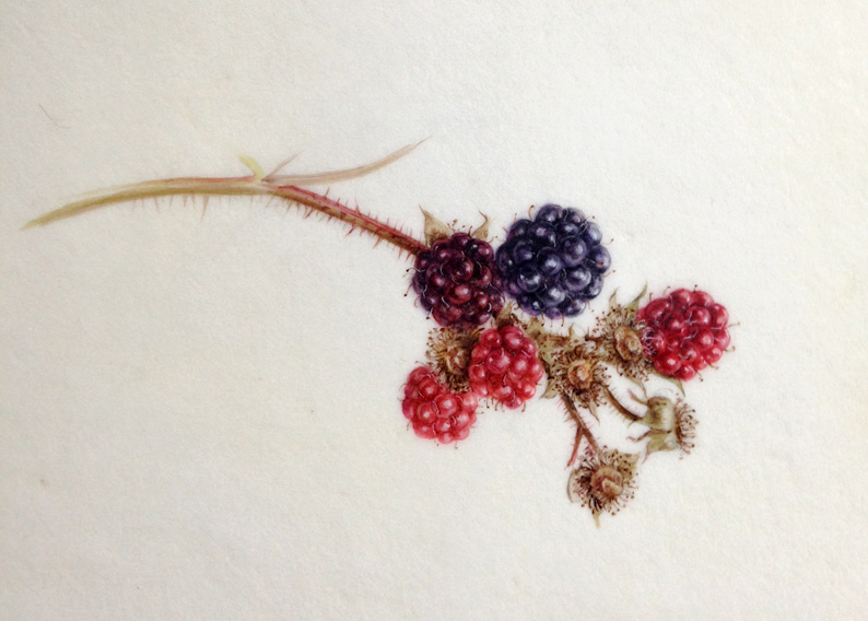 watercolour of blackberries on Kelmscott vellum