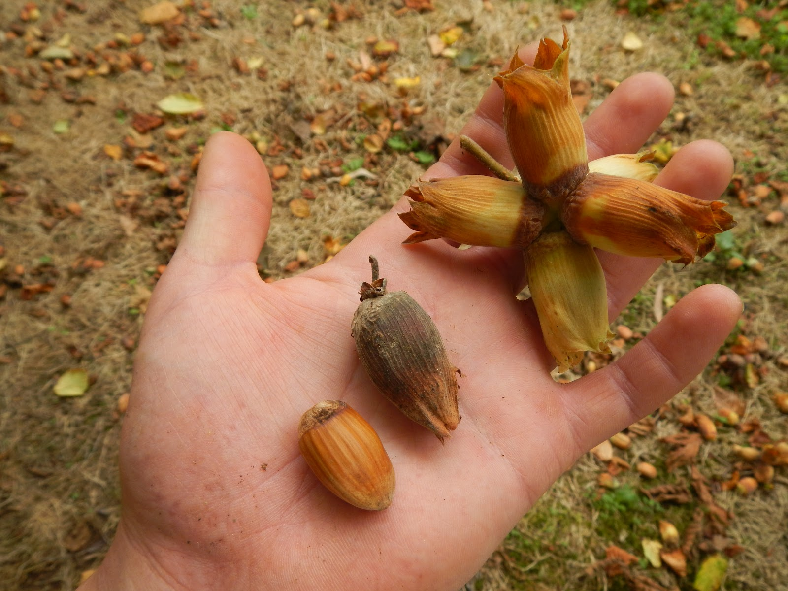 Aesculus Hippocastanum Horse Chestnut besides Rose Of Sharon Hibiscus Syriacus besides Aesculus Carnea Pink Horse Chestnut together with About further 438819557423704698. on growing chestnut trees