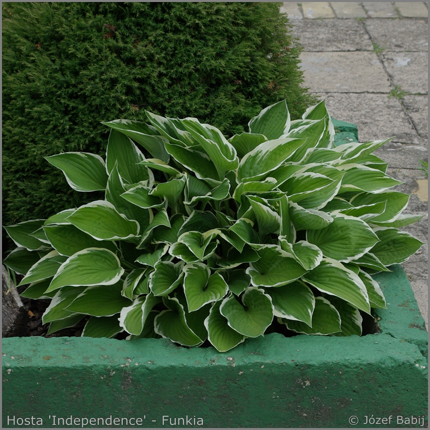 Hosta 'Independence' - Funkia 'Independence'