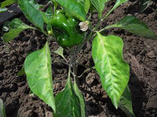 coltivazione peperone