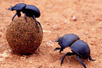 Kumbang Manfaatkan Cahaya Bintang utk Navigasi