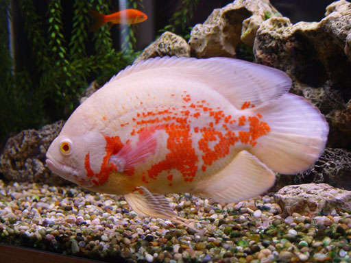 fish popular basic information about oscar fish