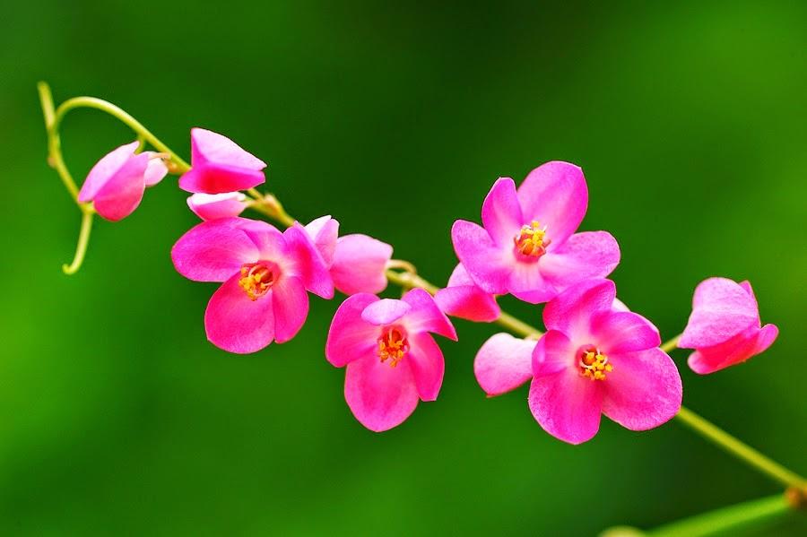 Bunga Air Mata Pengantin (Antigonon leptopus)