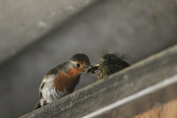 Mother feeding baby robin at the horse riding stables