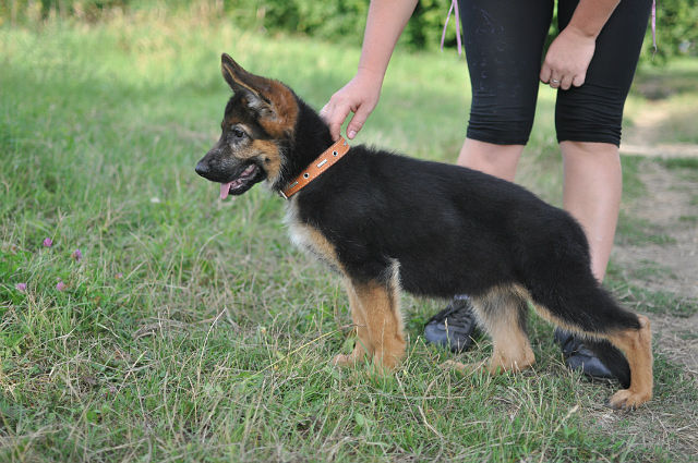 немецкая овчарка фото щенки