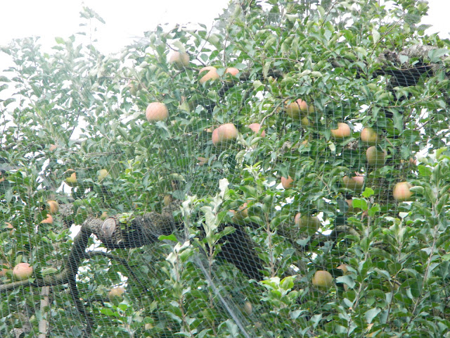 Apple trees laden with fruit in Gyeongju, Korea