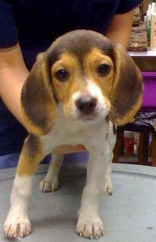Miniature Beagles For Sale | Beagle Puppy