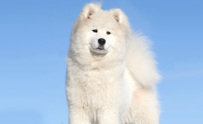 Samoyed And The Blue Sky