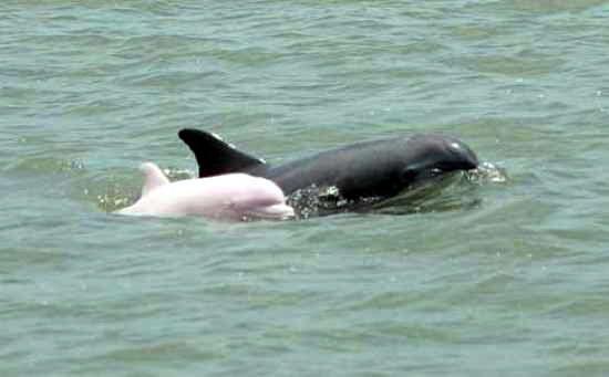 Dolphin Merah muda
