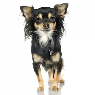 chihuahua pets dog mini puppy animal picture