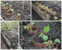 Test i KÖKSTRÄDGÅRDEN. Snigelbarriär för unga plantor, ringar av koppar.