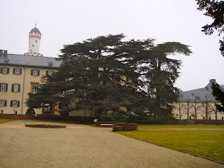 Zeder - ein majestätischer Baum
