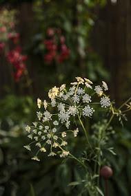 och blommar nu gör också slöjsilja, Ammi majus,