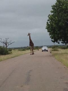 Plotseling doet zich een wegversperring voor. Eentje van letterlijk hoog niveau. Een giraffe heeft zich doodgemoedereerd midden op de weg geposteerd.