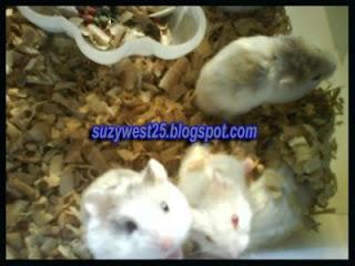 Bagaimanakah cara merawat hamster