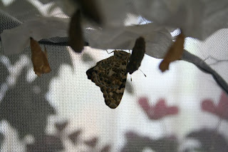 Painted Lady butterfly - phase 2 & 3: chrysalis & butterfly :: All Pretty Things