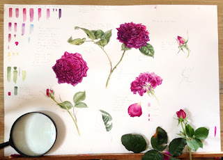 Munstead wood rose watercolour painting