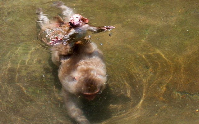funny animal pictures, swimming monkey