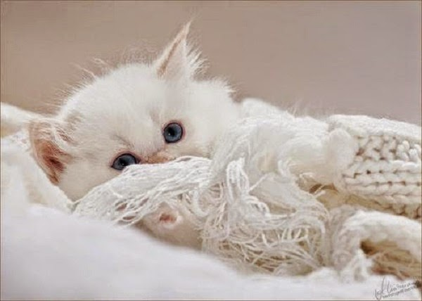 Photo adorable chaton blanc