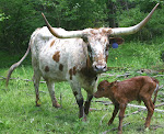 For Sale - Bred Cow with calf