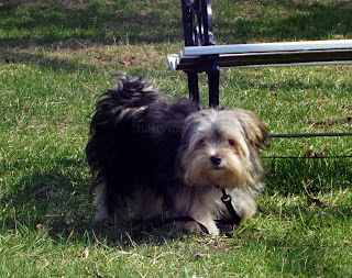 long hair morkie