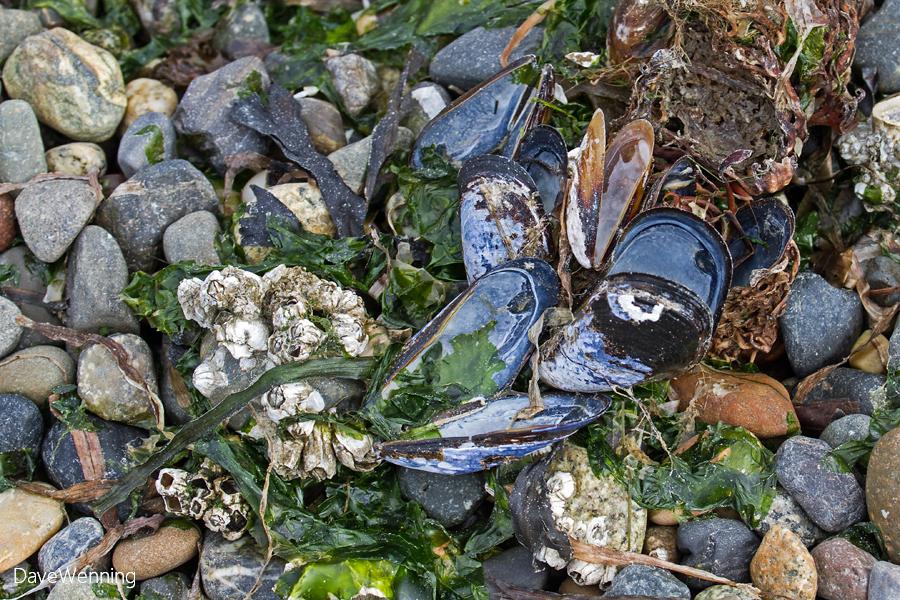 Blue Mussel Shells
