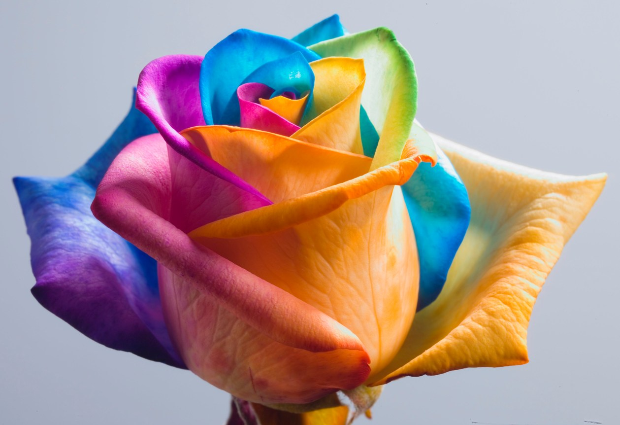 wallpapers rainbow roses