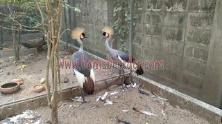 Jual burung crowned crane