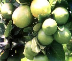 Sejumlah khasiat jeruk nipis untuk menjaga dan meningkatkan sistem kekebalan tubuh terhadap serangan penyakit