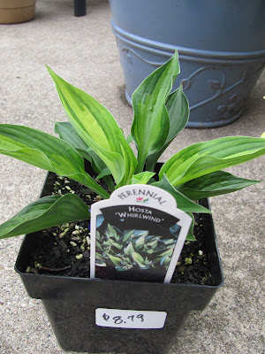 whirlwind hosta