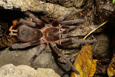 Nicaragua tarantulas