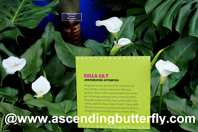 Calla-Lily Enid Haupt Conservatory at The New York Botanical Garden #FridaNYBG
