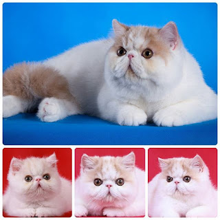 For Sale Kucing Exotic Female , kucing persia exotic bandung,  kucing persia exotik,  kucing persia extrim,  kucing persia extrem,  vitamin e untuk kucing persia,  kucing persia flat nose long hair,  kucing persia flat face untuk dijual,  kucing persia flat face murah,  kucing persia flat nose white solid,  kucing persia flat,  kucing persia facebook,  kucing persia flu,  kucing persia flatnose malang,  kucing persia flatnose jogja,  kucing persia gemuk,  kucing persia gendut,  kucing persia gratis,  kucing persia galak,  kucing persia gratis 2015,  kucing persia gak mau makan,  kucing persia garfield,  kucing persia gresik,  kucing persia garut,  kucing persia grand champion,  kucing persia harga,  kucing persia hitam putih,  kucing persia hamil,  kucing persia hamil berapa bulan,  kucing persia himalaya dijual,  kucing persia himalayan,  kucing persia hidung pesek,