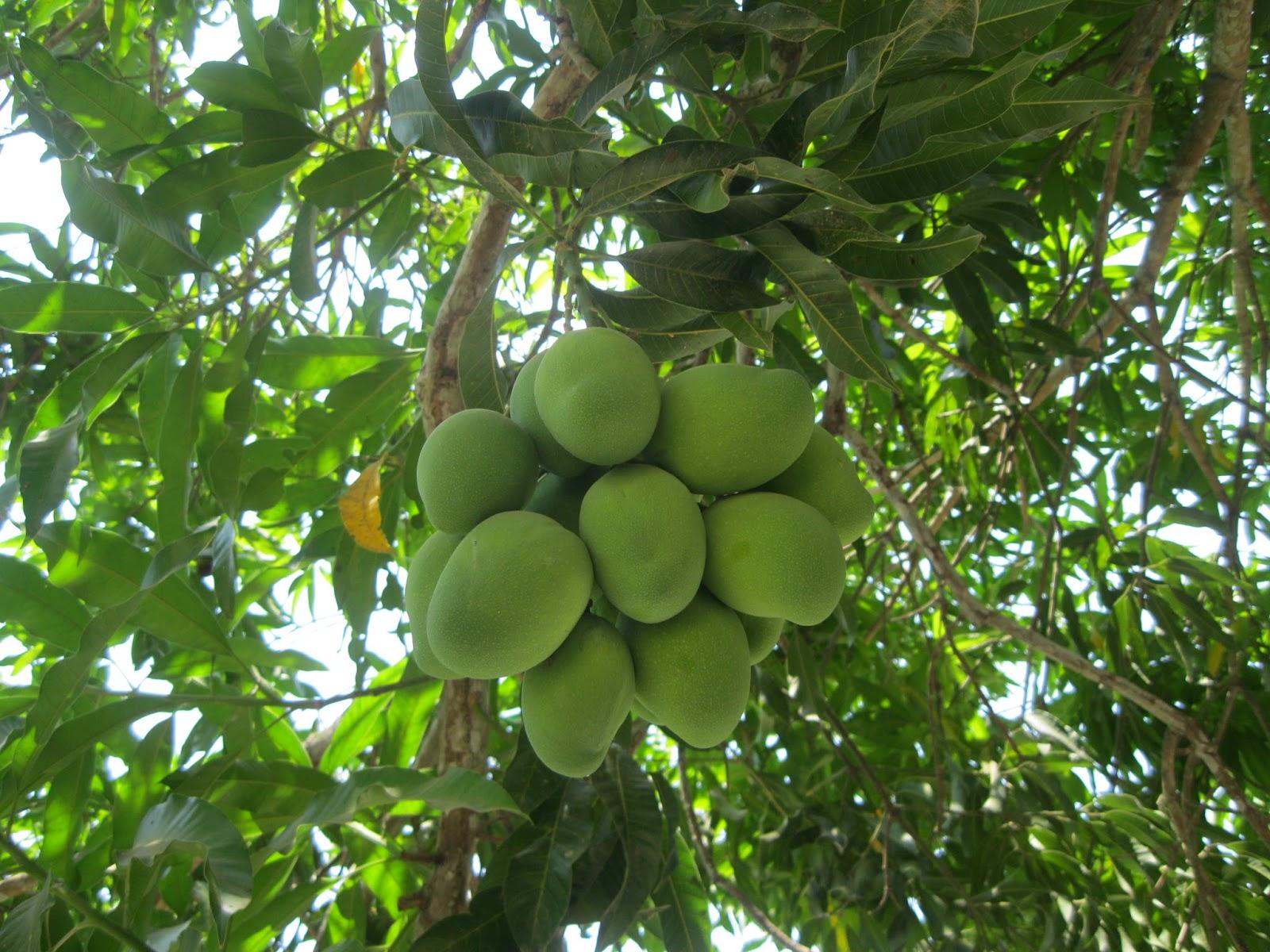 Voz rural - Como se podan los arboles frutales ...
