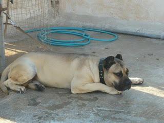 Dogo pressa canario αρσενικό, 8 ετών, 45-48 κιλά, τσιπαρισμένο- καταγεγραμμένο στον ΚΟΕ χάθηκε στο Πέραμα.