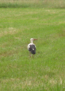 A stork in a marshy field, Germany