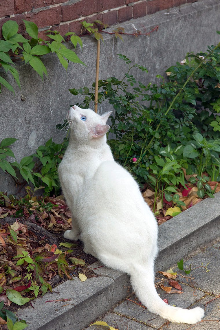 white cat looking at pigeon