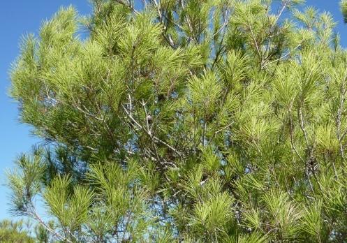 Montes: El pino carrasco, un árbol valenciano