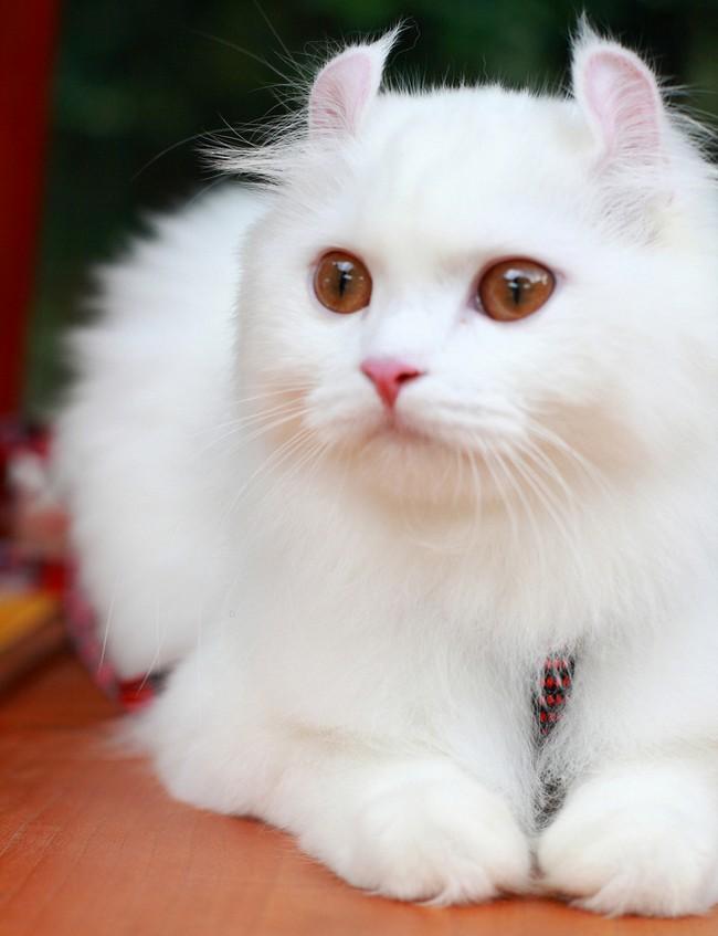 pet  Gato American Curl