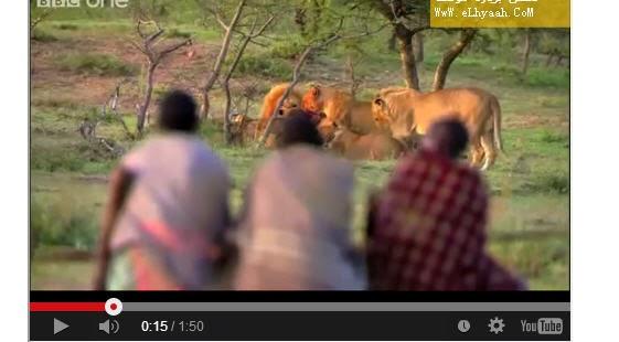 شاهد بالفيديو ثلاث رجال يهاجمون 15 أسدا انظر ماذا حدث