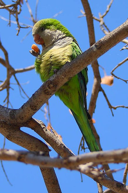 Green Parakeet (Aratinga holochlora) about to take a bite at the piece of bread