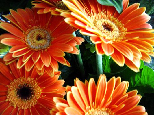 Flores de jardin achira adormidera amapola azucena for Azucena plantas jardin