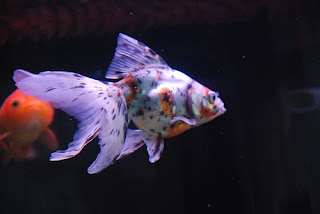 Calico/Nacreous Goldfish