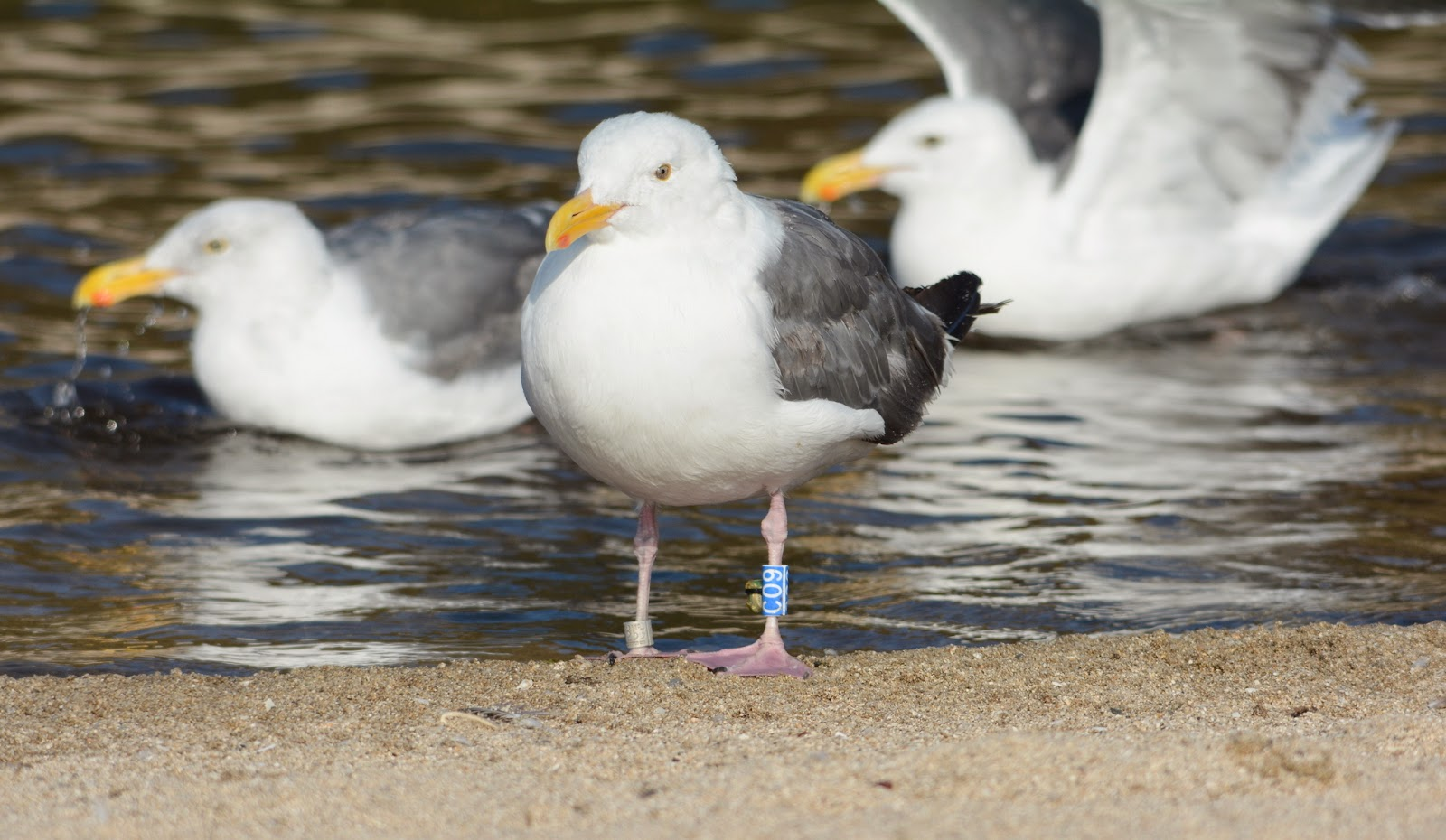 Bird Data Logger : Anything larus adult western gull fitted with tracking logger