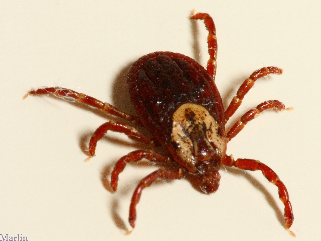 American Dog Tick Vs Brown Dog Tick How to get rid of dog ticks in the  #B3350D