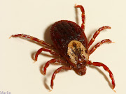 An American Dog Tick.Arkansas is a little south of where these are . (american dog tick )