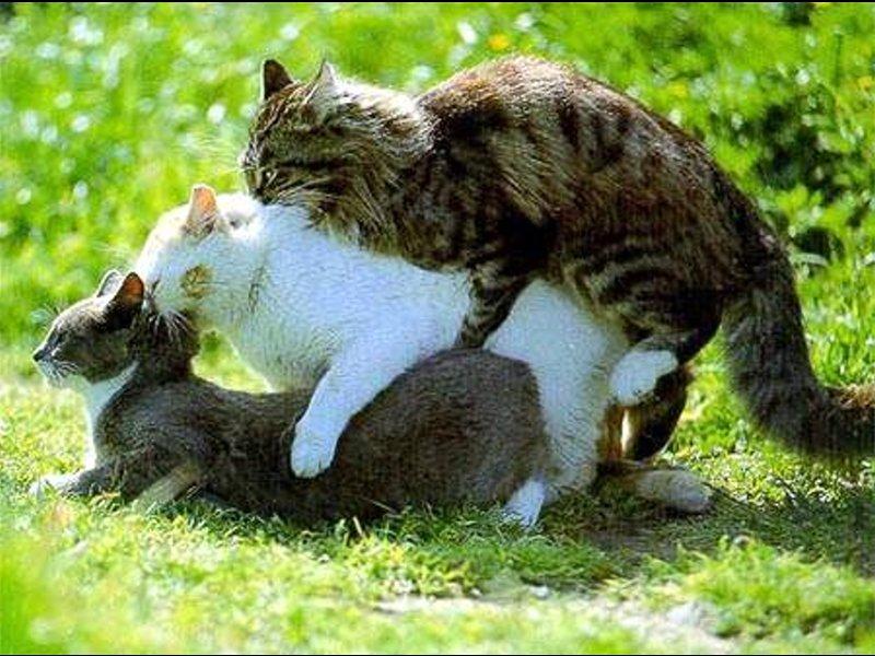 Продолжение рода у котов