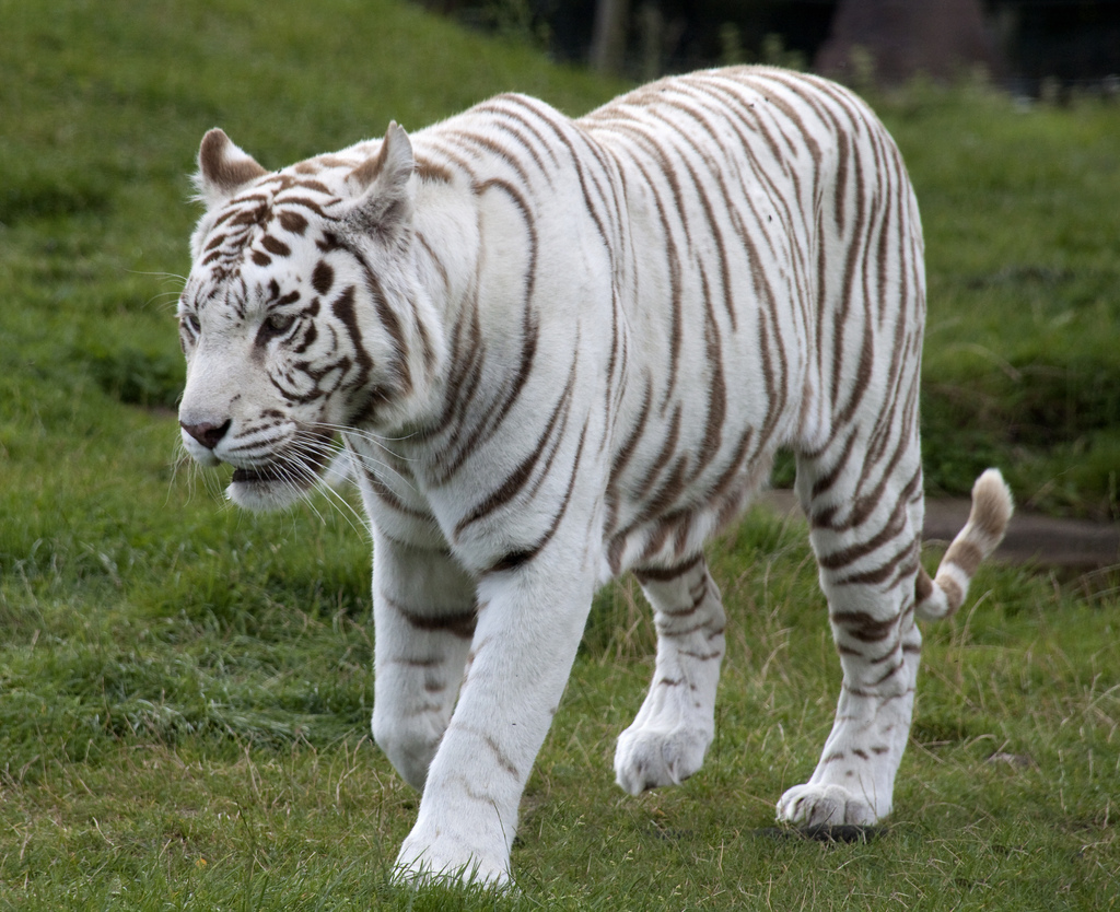 worldimage4u: Nature Wild Animals - The WHITE TIGERS